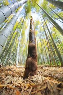 竹林に竹の子の写真素材 [FYI04317925]