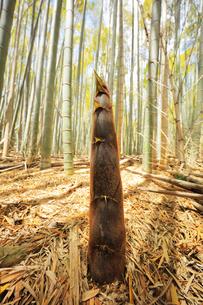 竹林に竹の子の写真素材 [FYI04317926]
