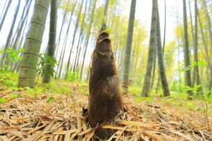 竹林に竹の子の写真素材 [FYI04317927]