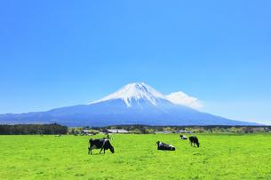 青空に雪の富士山と朝霧高原の牧場にウシの写真素材 [FYI04317969]