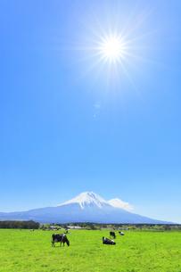青空と太陽に雪の富士山と朝霧高原の牧場にウシの写真素材 [FYI04317970]
