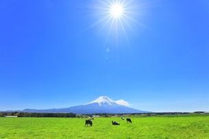 青空と太陽に雪の富士山と朝霧高原の牧場にウシの写真素材 [FYI04317972]