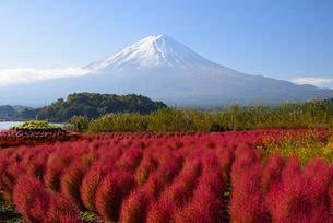 山梨県 大石公園のコキアの紅葉と富士山の写真素材 [FYI04318177]