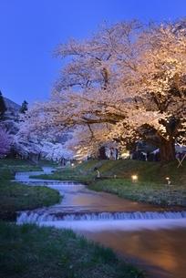 観音寺川の桜並木 夜景の写真素材 [FYI04318432]