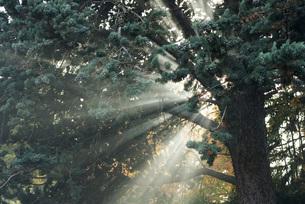 Beams of sunlight coming through treeの写真素材 [FYI04319698]