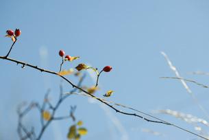 Rosehips on branchの写真素材 [FYI04319703]