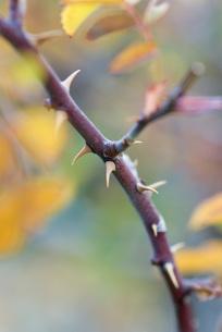 Thorny branchの写真素材 [FYI04319708]