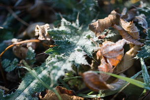 Frost-covered vegetationの写真素材 [FYI04319710]