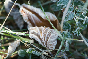 Frost-covered vegetationの写真素材 [FYI04319711]