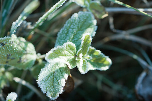Frost-covered vegetationの写真素材 [FYI04319713]