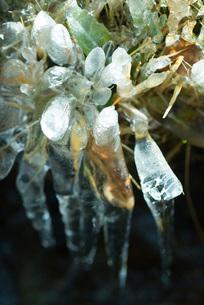 Frozen vegetationの写真素材 [FYI04319716]