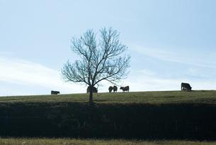 Cows grazing in pastureの写真素材 [FYI04319722]