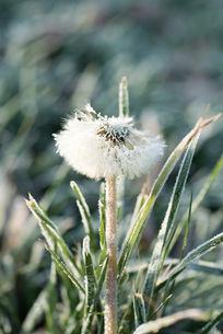Frost-covered dandelion seed headの写真素材 [FYI04319737]
