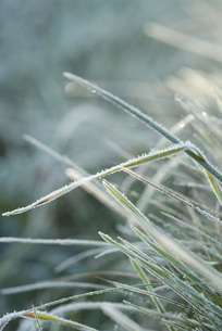 Frost-covered blades of grassの写真素材 [FYI04319745]