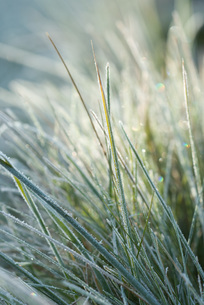 Frost covered blades of grassの写真素材 [FYI04319746]