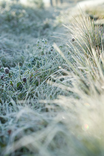 Frost-covered vegetationの写真素材 [FYI04319748]