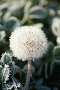 Frost-covered dandelion seed headの写真素材 [FYI04319749]