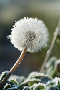 Frost-covered dandelion seed headの写真素材 [FYI04319750]