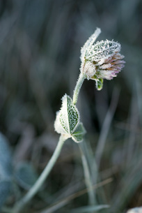 Frost covered cloverの写真素材 [FYI04319752]