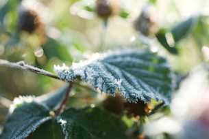 Frost covered plantの写真素材 [FYI04319753]