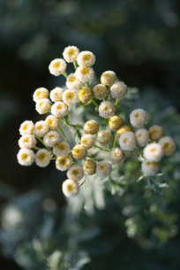Chamomile, with frostの写真素材 [FYI04319756]