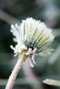 Frost-covered dandelion seed headの写真素材 [FYI04319757]