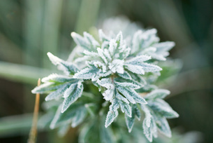 Frost-covered plantの写真素材 [FYI04319758]