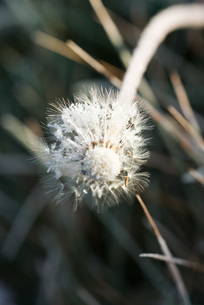 Frost-covered dandelion seed headの写真素材 [FYI04319760]