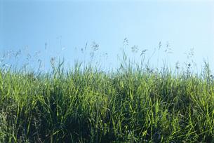 Green grass growing against blue skyの写真素材 [FYI04319769]