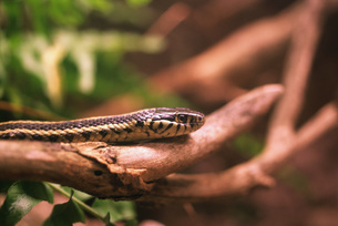 Snake on branchの写真素材 [FYI04319781]