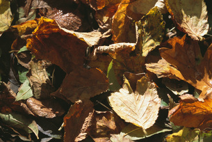Dried leaves on groundの写真素材 [FYI04319834]