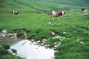 Cows grazing in fieldの写真素材 [FYI04320001]