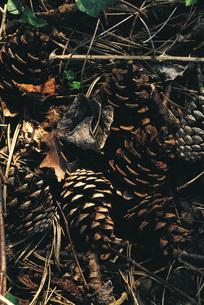 Pine cones on groundの写真素材 [FYI04320013]
