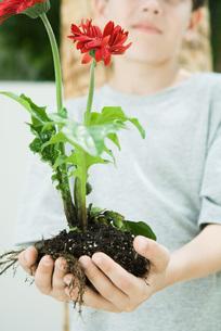 Boy holding gerbera daisiesの写真素材 [FYI04320845]