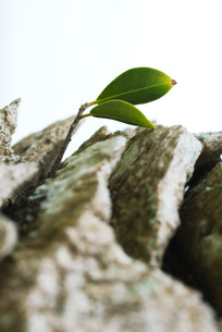 Leaf growing out of tree trunkの写真素材 [FYI04320874]