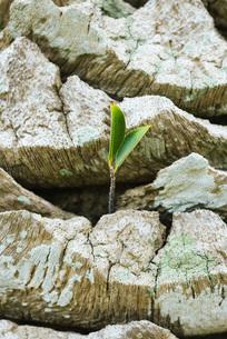 Leaf growing on tree trunkの写真素材 [FYI04320876]