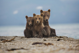 Kamchatka brown bears relaxing on lakeshore, Kurile Lake, Kamchatka Peninsula, Russiaの写真素材 [FYI04322722]