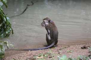 Rear view of monkey relaxing on water shoreの写真素材 [FYI04322727]