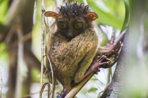 Close-up of spectral tarsier on branchの写真素材 [FYI04322729]