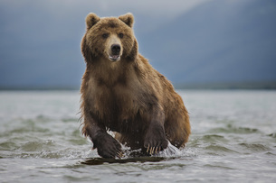 Kamchatka brown bear in lake, Kurile Lake, Kamchatka Peninsula, Russiaの写真素材 [FYI04322736]