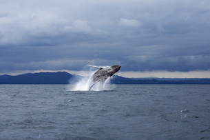 Humpback whale jumping in sea against dramatic skyの写真素材 [FYI04322741]