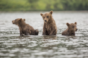 Kamchatka brown bear cubs in lake, Kurile Lake, Kamchatka Peninsula, Russiaの写真素材 [FYI04322750]