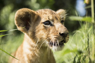 Close-up of lion cub looking awayの写真素材 [FYI04322752]