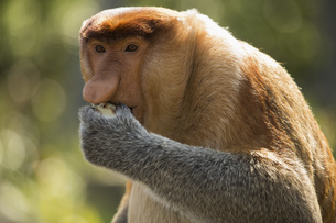Proboscis monkey looking away while eating foodの写真素材 [FYI04322754]