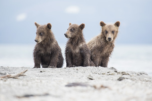 Kamchatka brown bears sitting on lakeshore, Kurile Lake, Kamchatka Peninsula, Russiaの写真素材 [FYI04322755]