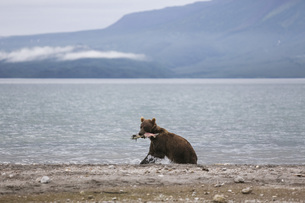 Kamchatka brown bear with salmon in mouth at lakeshore, Kurile Lake, Kamchatka Peninsula, Russiaの写真素材 [FYI04322760]