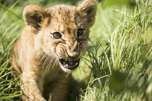Close-up of lion cub roaring in grassの写真素材 [FYI04322762]