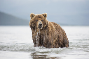 Kamchatka brown bear in lake, Kurile Lake, Kamchatka Peninsula, Russiaの写真素材 [FYI04322763]