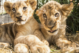 Close-up of lion cubs sitting togetherの写真素材 [FYI04322765]