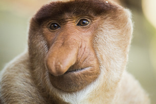 Close-up portrait of proboscis monkeyの写真素材 [FYI04322766]
